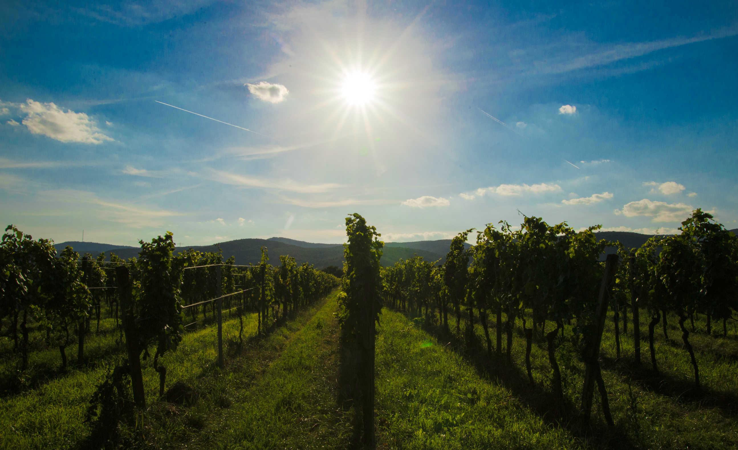 Pfalz im Rebenmeer mit strahlender Sonne und blauen Himmel